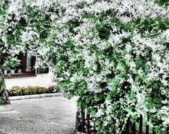 Silver Lace Vine 15 Seeds (Polygonum Aubertii)