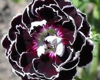 Dianthus Heddewigii Velvet Lace 20 - Striking Flower