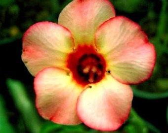Garden Adenium Obesum 'Orange Rose' Desert Rose 5 Seeds
