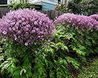 Geranium Maderense 10 Seeds-Impressive species,lush folige,muave flowers,massive, rare