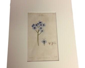 Dr. Thornton Botanical Print - Sea Kale, Crambe Maritima - Matted Print- August 1st, 1810