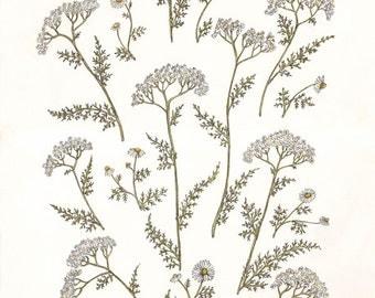 Yarrow & Chamomile - Print