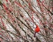 Cardinal with Red Berries Photo Washington DC Winter Photograph Male Red Cardinal Virginia State Bird