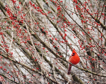 Cardinal with Red Berries Photo Washington DC Winter Photograph Male Red Cardinal Virginia State Bird, VA, Red and Brown, Poster, Print