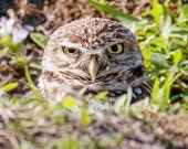 Burrowing Owl Fine Art Photograph 8x10
