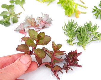 Larger Sedum Cuttings for Larger Miniature Garden Containers, Barbie, one Six Scale, Fairy or Gnome Garden Pots