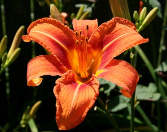 Tiger Lily, photographic print