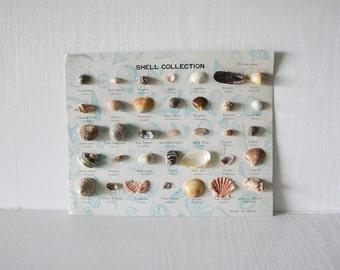 seashell collection Seashell Specimens Seashell Chart Vintage Seashell Collection Display