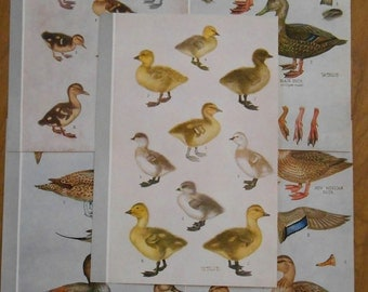 Set of 5 Duckling and Ducks, 1942 vintage bird illustrations