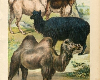 Antique Print of Llama, Vicuna, Alpaca, Camel Color Lithograph 1880s Johnson's Household Book of Nature
