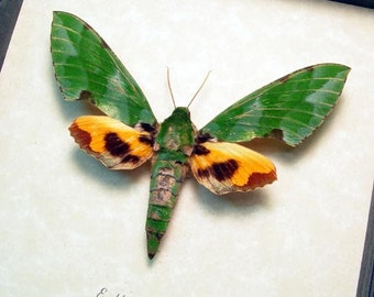 Real Euchloron Megaera Large Green and Orange Framed Hawk Moth 7755