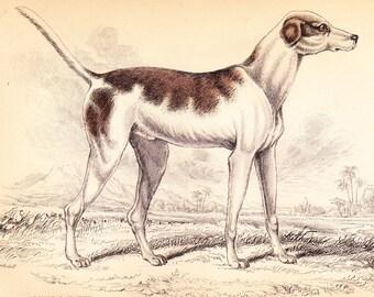 Oriental Hound. Circa 1850 . ORIGINAL ANTIQUE Dog Canine Animal Print Vol II .