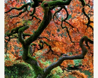 SALE - Ships Aug 27 - Red Maple, Autumn Photo Fall Colors Japanese Garden Photograph Autumn Colors Red Leaves Tree nat114