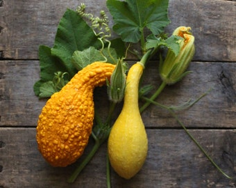 Crookneck Summer Squash, heirloom organic vegetable seeds, from our farm, vegetable garden, organic garden, gardener, squash seed