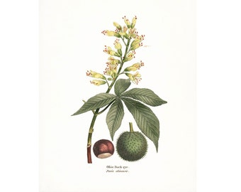 Vintage Ohio Buckeye Illustration - Traditional Botanical Natural History Giclee Art Print