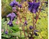 Columbine Woodside Strain Seeds (Aquilegia vulgaris)