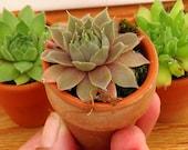 Succulents, SO Cute,  THREE succulents in a mini terra cotta pot