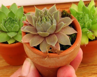 Succulents, SO Cute,  THREE succulents in a mini terra cotta pot