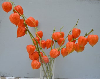 Dried Chinese Lantern seed pods and stems. Halloween . Physalis alkekengi plants, for crafts and arrangements LOT F