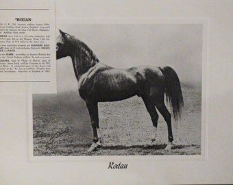 Vintage Crabbet Arabian Horse Art Print - Rodan