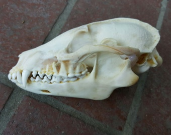Beautiful Real Tanuki Skull