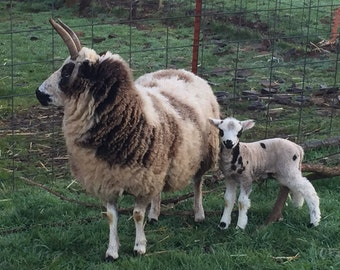 All Natural Colored Jacob Sheep Fleece from Lindsay
