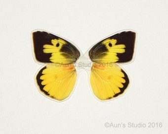 Real Butterfly Wings - Laminated ready to use - Yellow dog-face butterfly