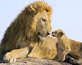BABY LION and DAD Photo, Baby Animal Photograph, Wildlife Photography, Wall Decor, Safari Nursery Art,  Fathers Day, Lion Cub