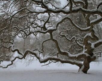 Tree with Snow Photograph Winter Tree Photograph Threadleaf Japanese Maple Tree of Life Fine Art Photograph Zen Nature Winter Landscape