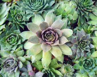 Succulent Photo, Succulent Print, Gardening Gift, Succulent Photography, Green Succulent Wall Art, Large Botanical Art, Cactus Print
