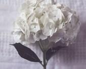 Hydrangea Photograph 8x10