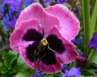 75 + REAL CANDIED PANSIES, Organic, Edible Flowers, Bulk, Rose Petals, Candied, Pansys, Wedding Cakes, Purples, Magenta, Large Orders Only