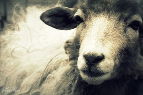 Sheep Photo, Large Black and White Photography Print, Large Wall Art, Sheep Print, Animal Photography, Ewe, Nature, Fine Art Photography