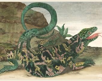 European Master Print and Drawing Reproductions:  Lizard, from Metamorphosis Insectorum Surinamensium by Maria Merian, 1705. Fine Art Print