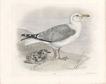 The Herring Gull and Chick, Hand Coloured Original 1911 Engraving by Lilian Marguerite Medland. Antique Coastal Home Wall Decor Print.