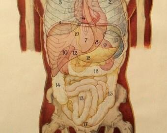 Vintage 1920s Print Human Anatomy Illustration Dissection Diagram Medical