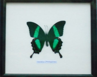 Real Single Achillides Palinurus Daedalus Male Butterfly Taxidermy Display in Frame /PHOA