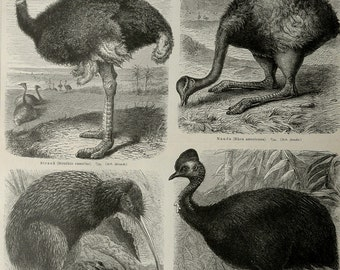 1897 Antique print of FLIGHTLESS BIRDS: Ostrich, Kiwi, Rhea, Cassowary. Ornithology. 119 years old plate