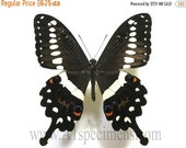 15% Super Sale Papilio Lormieri Lormieri A1 Butterfly folded Specimen