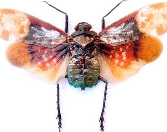 Penthicodes Farinosa Farinosa Lanternfly A1