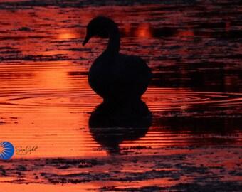 Swan sunset #3