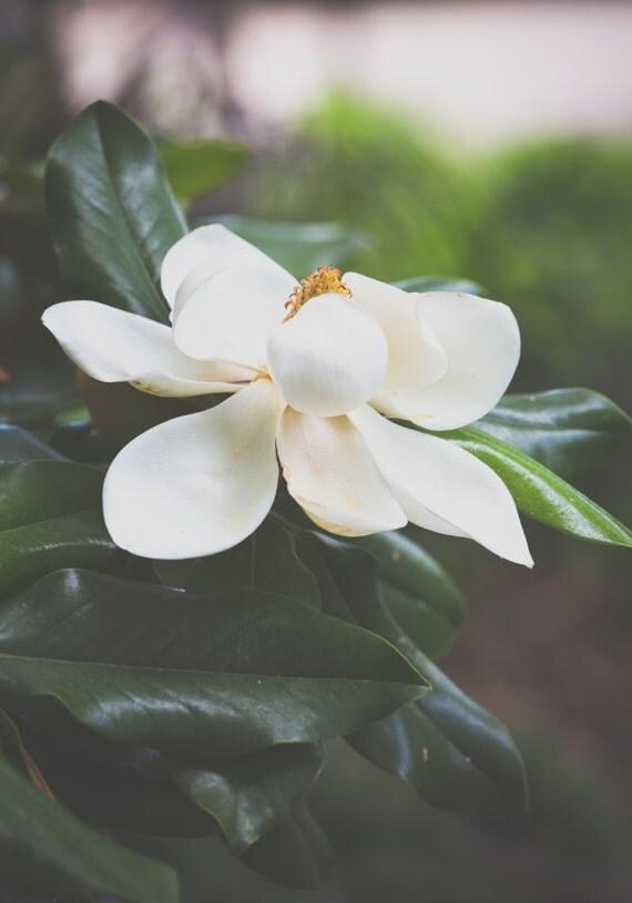 magnolia fotografie immergr ne magnolie s dlichen dekor. Black Bedroom Furniture Sets. Home Design Ideas