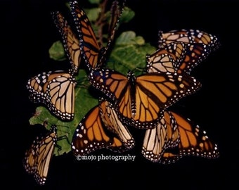 Monarch Butterfly Cluster 8x10