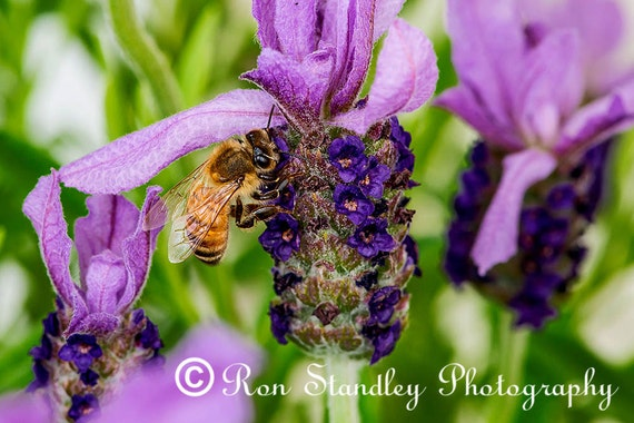 Bee on Lavender instant download printable art
