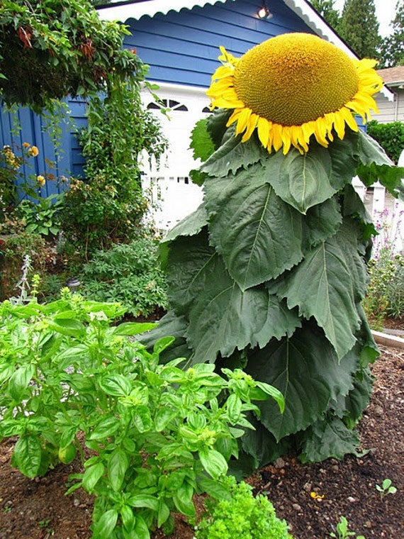 Large Sugar Sunflower Head