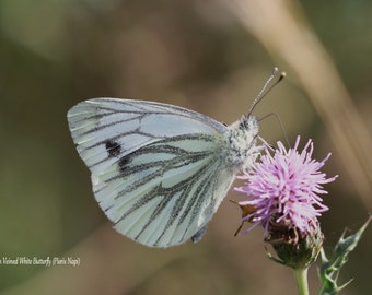Green Veined White Butterfly Fine Art Photographic Blank Greetings Card