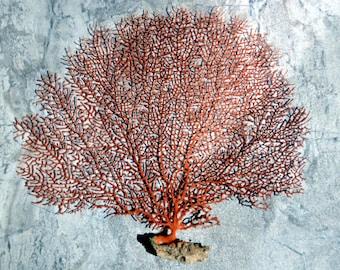 "Red Sea Fan (7-10"") - Echinogorgia SP"