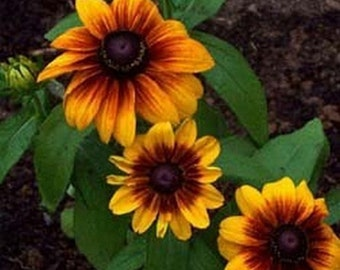 Gloriosa Daisy - 200 Seeds