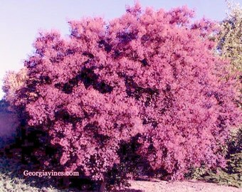Cotinus coggygria Pink Smoke tree 10 seeds