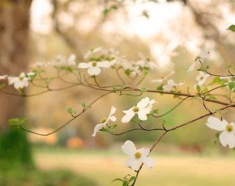 soft creamy dogwood flower on farm